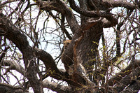 Leopard in thick tree