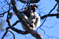 Verreaux Sifaka Mother&Child