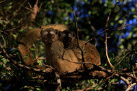 Red Fronted Brown Lemur (female&male), Berenty