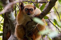 Blue-Eyed Black Lemur (female), Antsohihy